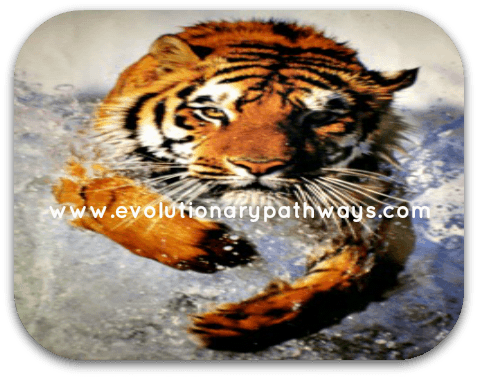 Tiger Running Out of the Ocean